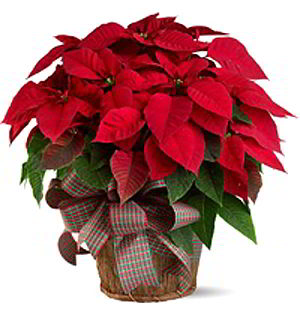 Morristown Florist | Large Red Poinsettia